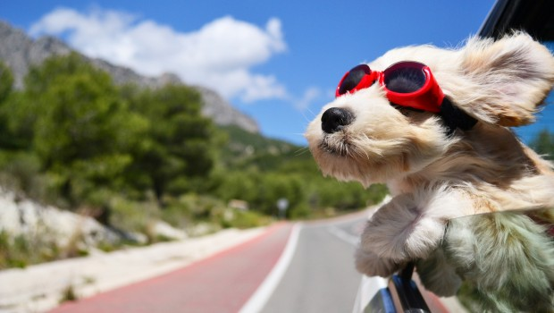 Dog travel by road
